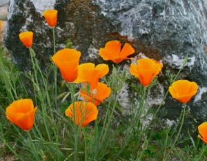 Calif poppies